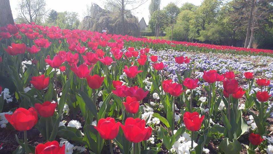 Bukan Belanda Inilah Negara Asal Bunga Tulip
